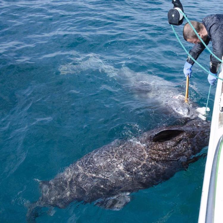 В Атлантическом океане поймали самую старую акулу на планете. Ей более 512 лет!